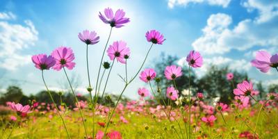 Изящная и простая космея: посадка, выращивание, уход