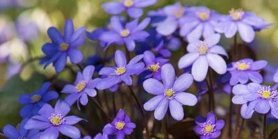 Печеночница встречает весну