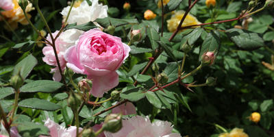 Болезни и вредители роз