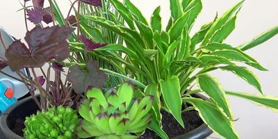 Композиция из декоративнолистных растений