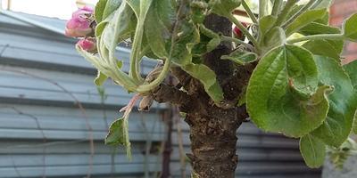 Что с листьями на моей колоновидной яблоне? Как с этим бороться?