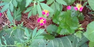 Органическое земледелие. ЭМ препараты,  мульчирование, смешанные посадки и травяные настои. Год первый