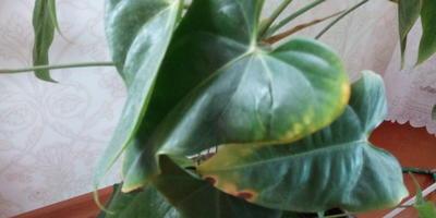 Почему у антуриума портятся листья?