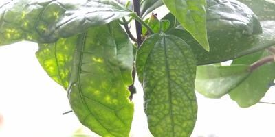 Что случилось с листьями клеродендрума и баклажана?