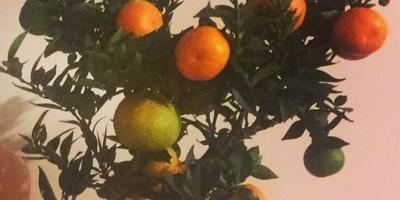 Как спасти высыхающее мандариновое дерево?