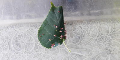 На листьях липы как будто шипы выросли. Что это? Чем обработать?