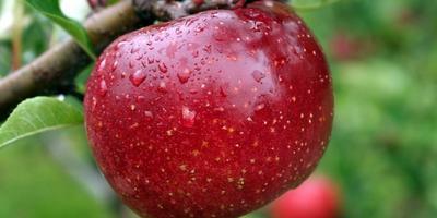 Когда начинать окулировку яблонь и груш и как правильно это делать?