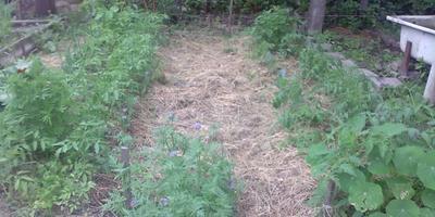 """Вот такой мой """"органический огород"""" в середине июня"""