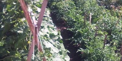 Каким количеством воды поливать огурцы и помидоры?
