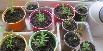 Когда высаживать в грунт рассаду пряных трав и лаванды?
