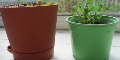 Лаванда, выращиваемая дома, вытягивается. Что делать? Какого размера горшок лучше подходит?