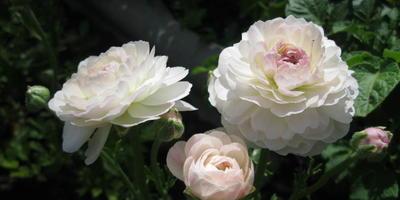 Мои цветы. Ранункулюс