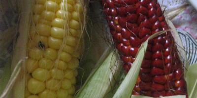 Что делать с красной кукурузой?