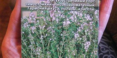 """Тимьян овощной """"Медок"""", он же чабрец - ароматная пряность!"""