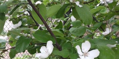 Почему цветет, но не плодоносит айва?