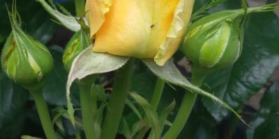 Как называется сорт этой розы?