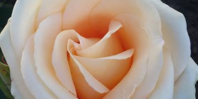 Подскажите, пожалуйста, сорт розы