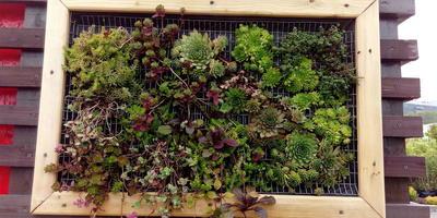 Необычная идея для Вашего сада. Картины из суккулентов