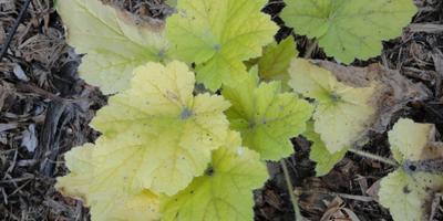 Почему у желтой гейхеры сохнут по краям листья, даже молоденькие? Как спасти?