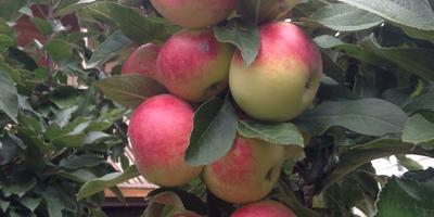 Помогите определить сорт яблони!