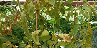 Сохнут кусты помидоров, как спасти урожай?