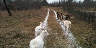 Зимние сытые козы, а также их козлята