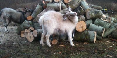 Бензопила, козы и опыт
