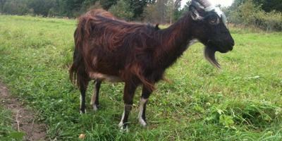 Доение коз и мысли во время доения коз