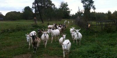 Время и козы, или Что же делать?