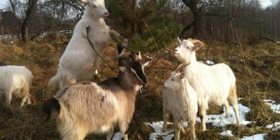 Зааненские, Русские белые. И еще о вярьмовских козах, их жизни и преодолении сетки-рабицы