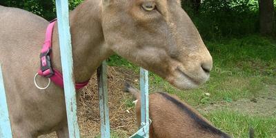 Ламанчи: молочные козы с короткими ушами