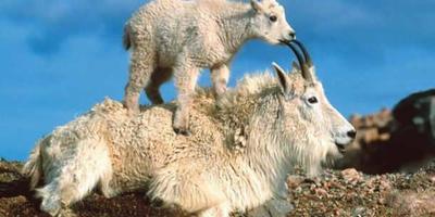 Сказочные козы, болотные козы и предновогодние козы