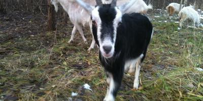Заезжала Антонина и все-все подробности разницы в содержании коз