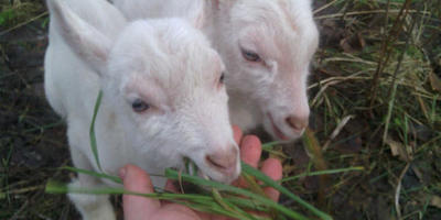 Дворец для коз и прекрасные моменты продажи сыра по объявлению