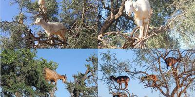 Деревья, козы и морозы
