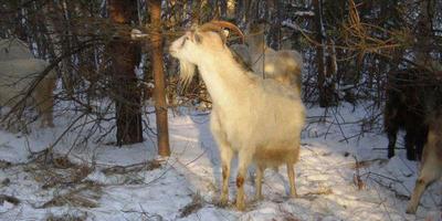 Что можно есть в заснеженном лесу, козий желудок и весь смысл животноводства