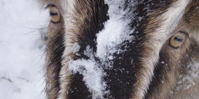 Ландрасы, а также немного о породистых козах