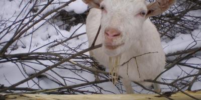 Ветки и козы, а также Евльский козел и еще про козлов