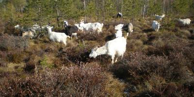 Немного про коз, козлят и этологию