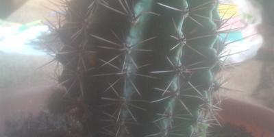 Помогите определить вид кактуса