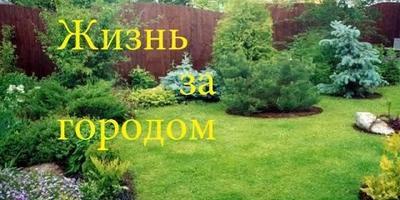 Ежевика в моем саду. Уход, подкормка