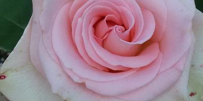 Почему на розе после дождя появляются пятна?