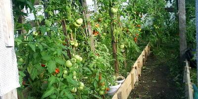 Урожайные помидорчики