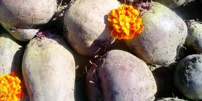 Мой урожай овощей в 2016 году: свекла, морковь, картофель