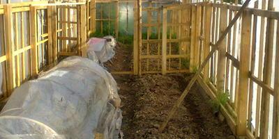 Мой урожай томатов из парника и урожай перцев, огурцов из теплицы