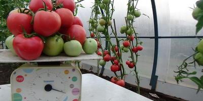 """Конкурсная работа по взвешиванию куста 1 серии томатов """"Малиновый рай"""""""