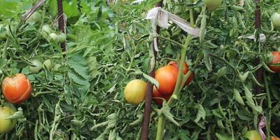 Мои любимые помидоры Малиновое чудо