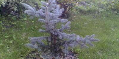 Как правильно обрезать голубую ель, чтобы сформировать красивое дерево?