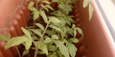 Радуга из томатов