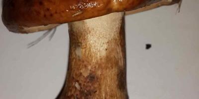 Подскажите, пожалуйста, что это за гриб?